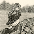 Pleasant Valley Red-tailed Hawk Print by Sarah Batalka