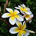 Plumeria in the Sunshine Poster by Kaye Menner
