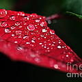 Poinsettia Leaf with Water Droplets Poster by Kaye Menner