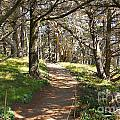 Point Lobos Cypress Path Print by Jack Schultz