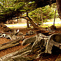 Point Lobos Whalers Cove Whale Bones Print by Barbara Snyder