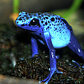 Poison Blue Dart Frog Print by Optical Playground By MP Ray