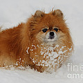 Pomeranian In Snow Poster by John Shaw