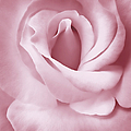 Porcelain Pink Rose Flower Poster by Jennie Marie Schell