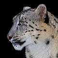 Portrait Of A Snow Leopard Poster by John Absher