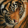 Portrait of a Tiger Print by David Stribbling