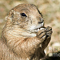Prairie Dog Print by Teresa Zieba