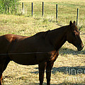 Prarie Stallion in the Shade Print by Barbara Griffin