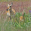 Pronghorn Doe and Fawn Print by Karon Melillo DeVega