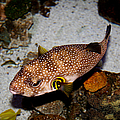 Pufferfish 5D24157 Print by Wingsdomain Art and Photography