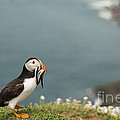 Puffin with Sandeels Print by Anne Gilbert