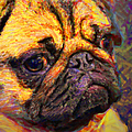 Pug 20130126v1 Poster by Wingsdomain Art and Photography