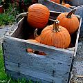 Pumpkins in Wooden Crates Print by Amy Cicconi
