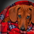 Puppy Love Print by Susan Candelario
