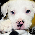Puppy Pose with 4 spots on Nose Print by Peggy  Franz