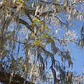 Pure Florida - Spanish Moss Print by Christine Till
