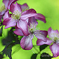 Purple clematis Print by Sylvia Cook
