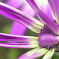 Purple Senetti I Poster by Cate Schafer