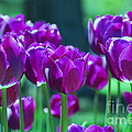 Purple Tulips Print by Allen Beatty