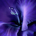 Purple Velvet Gladiolus Flower Poster by Jennie Marie Schell