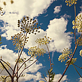 Queen Anne Lace and Sky I Print by Jenny Rainbow