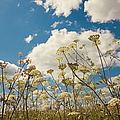 Queen Anne Lace and Sky Poster by Jenny Rainbow