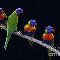 Rainbow Lorikeet 6 Poster by Heng Tan