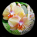 Rainbow Orchids Baseball Square Print by Andee Design
