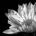 Raindrops on Daisy Black and White by Jennie Marie Schell