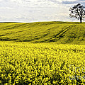 Rape landscape with lonely tree Poster by Heiko Koehrer-Wagner
