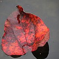 Red Briar Leaf on Water Poster by Chuck Buckner