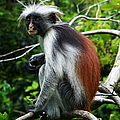 Red Colobus Monkey Poster by Aidan Moran