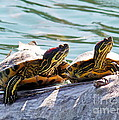 Red Eared Slider Print by Irfan Gillani