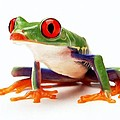 Red-eye tree frog 1 Print by Lanjee Chee