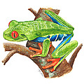 Red-eyed Treefrog Print by Cindy Hitchcock