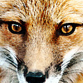Red Fox Art - Foxy Eyes Print by Sharon Cummings