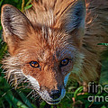 Red Fox Print by Bianca Nadeau