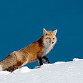 Red Fox Print by Gary Beeler