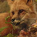 Red Fox in Autumn Leaves Stalking Prey Poster by Inspired Nature Photography By Shelley Myke