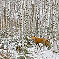 Red Fox in Birches Poster by Jack Zievis
