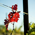 Red Grape Leaves Poster by Charmian Vistaunet