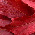 Red Maple Leaves Poster by Jennie Marie Schell