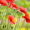 Red Poppies Print by FunCards