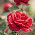 Red Rose after rain Print by Diana Kraleva