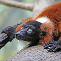 Red-Ruffed Lemur Poster by Karol  Livote