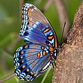 Red Spotted Purple Butterfly Poster by Sandy Keeton