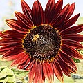 Red Sunflower and Bee Print by Kerri Mortenson