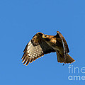 Red-Tail Hover Print by Mike  Dawson