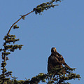 Red Tailed Hawk 2 Poster by Ernie Echols