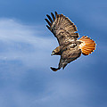 Red-Tailed Hawk Soaring Square Poster by Bill  Wakeley